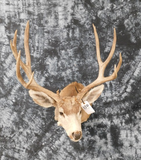 MULE DEER 13PT HEAVY RACK