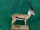 FB THOMPSON GAZELLE