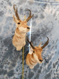 2 PRONGHORNS (2x$)
