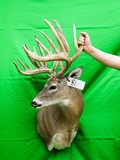 HUGE WHITETAIL SIDE MT 300 CLASS
