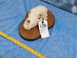 BLACK BEAR SKULL ON PLAQUE