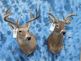 2 WHITETAIL MT (2X$)