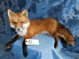 FB LAYING RED FOX