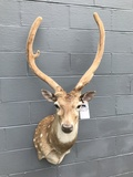 AXIS DEER W/MONSTER ANTLERS -NEW MT -32