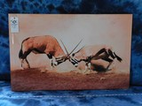PAIR FIGHTING GEMSBOK PICTURE