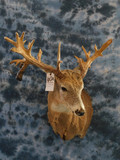 WHITETAIL DEER APPROX 29PT W/ SEVERAL DROPS & KICKERS