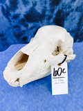 XL GRIZZLY BEAR SKULL