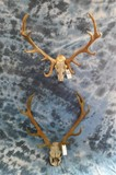 2 RED STAG HORNS ON SKULL PLATE (2X$)