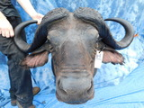 CAPE BUFFALO SH MT