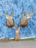 3 WHITETAIL SH MT (3x$)