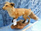 FB STANDING RED FOX