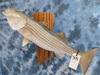STRIPER FISH MT