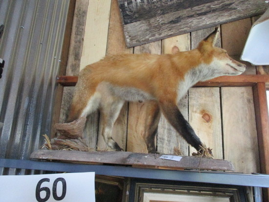 Red Fox Taxidermy ount