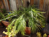 Outdoor Living Palm Tree
