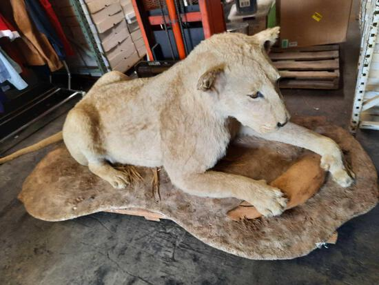 Real African Female Queen Lion 6ft Length