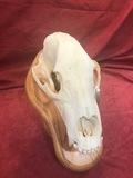 Alaskan Brown Bear Skull