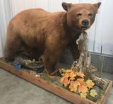 Cinnamon Bear full-body mount