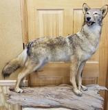 Full body coyote Mount