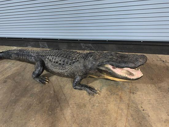 Louisiana 11 foot plus long alligator
