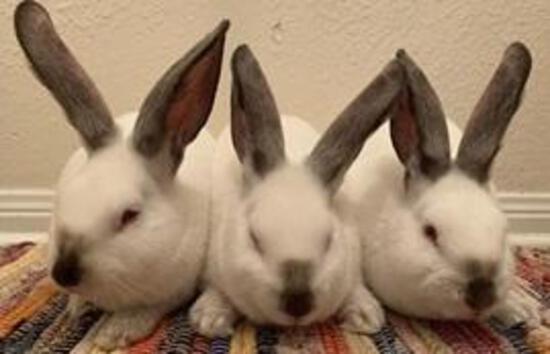 Pen of 3 Rabbits - Miranda Rivera - Dekaney FFA