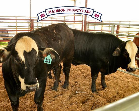 Reserve Champion - Penned Heifers - Levi Lovell - Madisonville 4-H