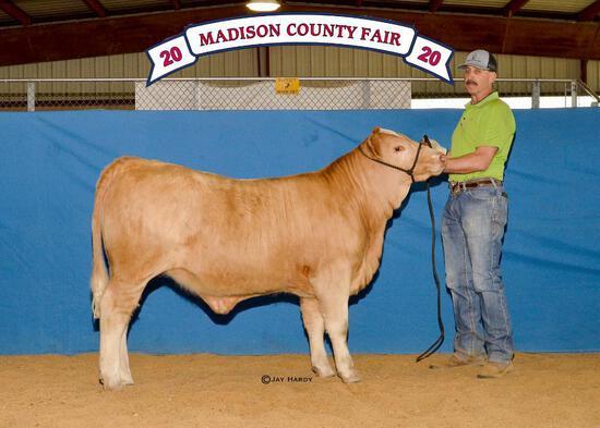 Halter Heifers - Colby Sheppard - Madisonville FFA