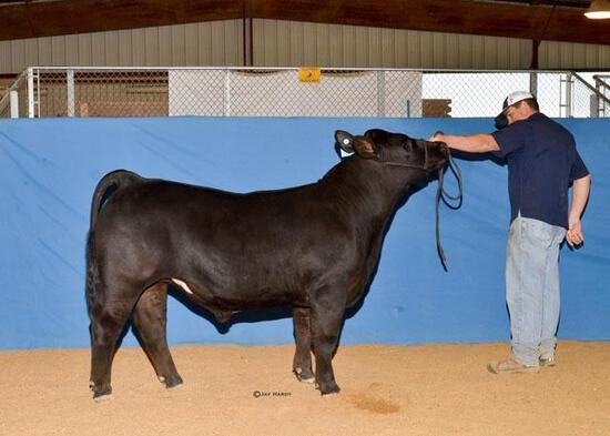 Market Steers - Jackson Zanolini - Madisonville 4-H