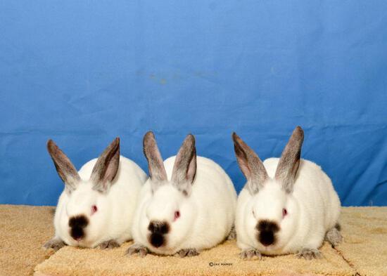Rabbit - Natalie Newton - Madisonville 4-H