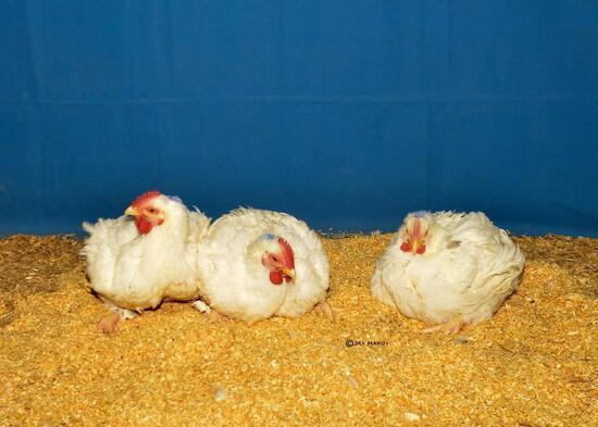 Poultry - Levi Zehnder - Madisonville 4-H