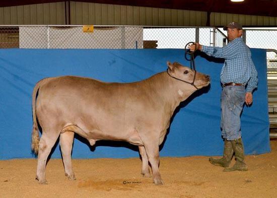 Market Steers - Cooper Staley - Madisonville FFA