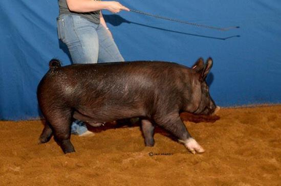 Swine - Haley Pullin - North Zulch 4-H