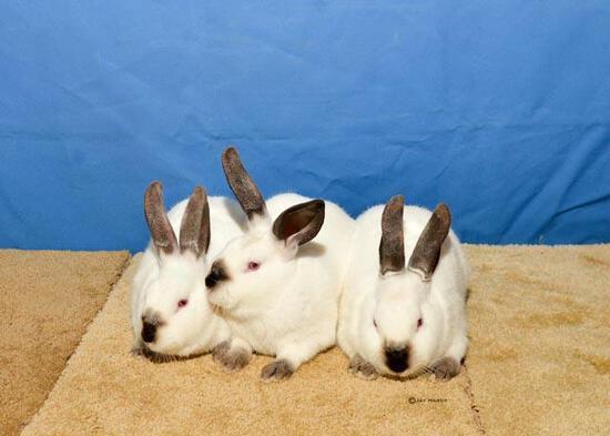 Rabbit - Carson Radde - North Zulch 4-H