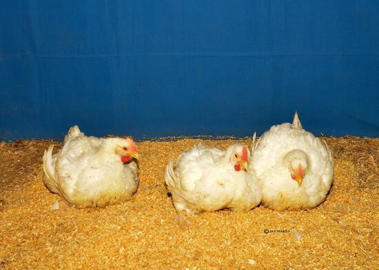 Poultry - Zoe McWhorter - Madisonville 4-H