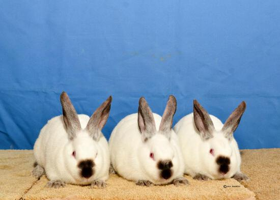 Rabbit - Addison Hutsen - Madisonville 4-H