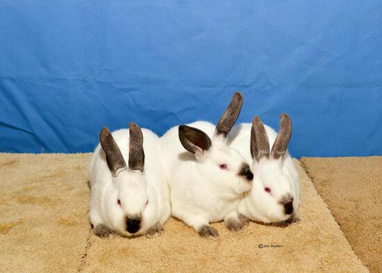 Rabbit - Marissa Stewart - North Zulch 4-H