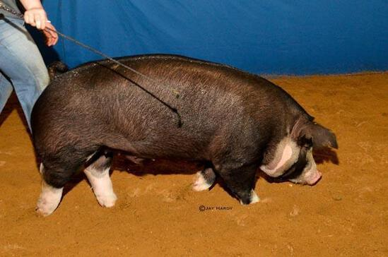 Swine - Caleb Corley - Madisonville FFA