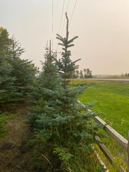 Qty (3) Blue Spruce Trees