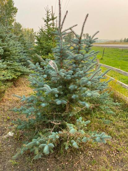 Qty (7) Spruce Trees