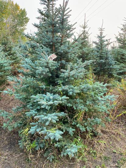 Qty (8) Spruce Trees