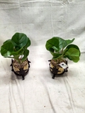 Pair of Artificial Succulents in Metal Star Stands