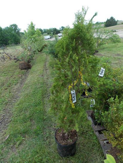 Arborvitae (cedar)