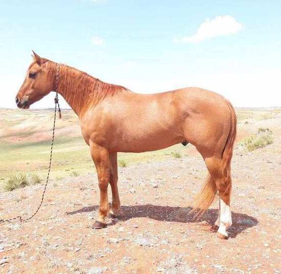 Dunna Be Flaming- 4 y/o APHA Gelding