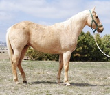 Gifted With Gold-13 y/o AQHA Mare