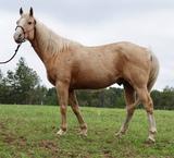 Trigger- 10 y/o Pony Gelding
