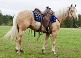 Charger- 7 y/o Gelding
