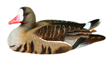 White-Fronted Goose Decoy of the Year