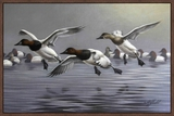 Canvasbacks Coming In