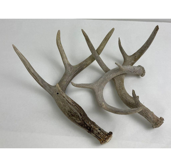 Lot Of 3 Montana Whitetail Deer Shed Antlers