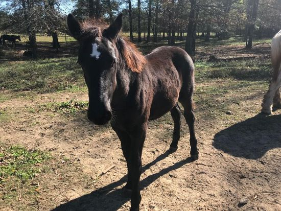 6 MONTH OLD PERCHERON FILLY, CAN BE REGISTERED AT BUYER'S EXPENSE