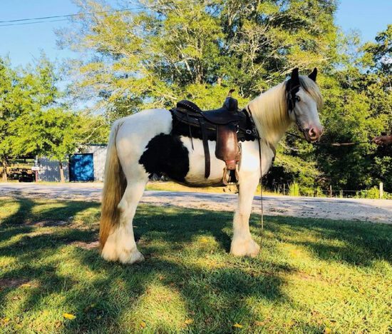 2 YEAR OLD GYPSY GELDING, BROKE TO WORK AND RIDE